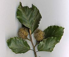 File:Common beech 2.jpg