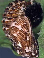 Heath Fritillary pupa