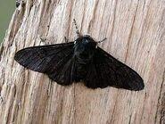 Peppered Moth ~ Ian Kimber