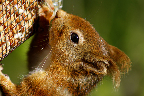 File:Red Squirrel.jpg