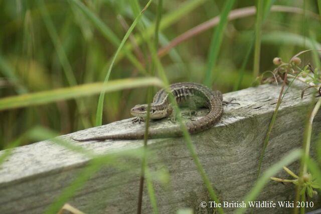 File:Common Lizard 3.JPG