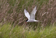 Common Tern Gord