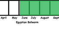 Egyptian Bollworm