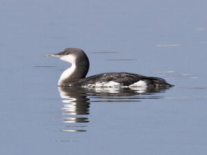 Black-throated Diver or Arctic Loon (winter) - Flickr