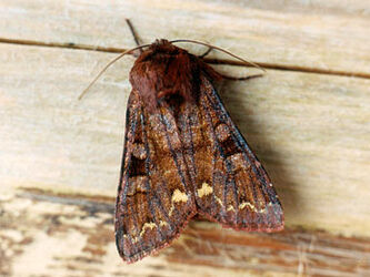 Broom Moth ~ Ian Kimber