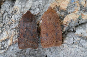 Dark Chestnut (Conistra ligula) and Chestnut (Conistra vacinnii)