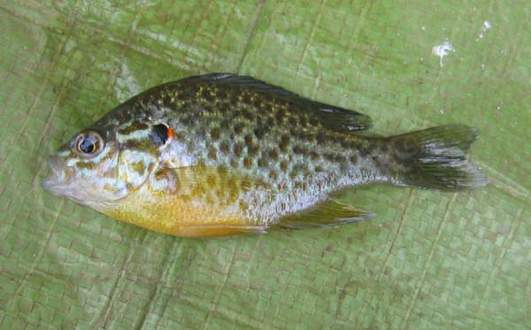 File:Pumpkinseed.jpg