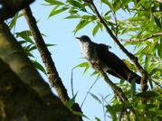 Purpcuckoo1