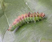 Dusky Hook-tip Larva ~ Ian Kimber