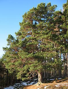File:Native scots pine.jpg