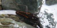 Water Cricket