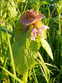Red Dead-nettle.JPG