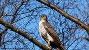 Sparrowhawk - Erik