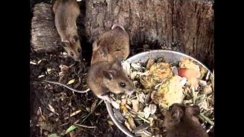 British Wildlife Clips - Wood Mouse