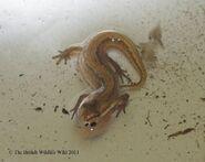 Female Palmate Newt