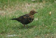 Juvinile Black Bird