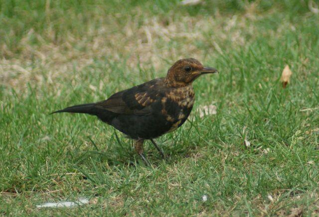 File:Juvinile Black Bird.JPG