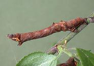Early Thorn Larva ~ Ian Kimber