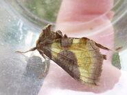 Diachrysia chrysitis f. junct ~ Burnished Brass