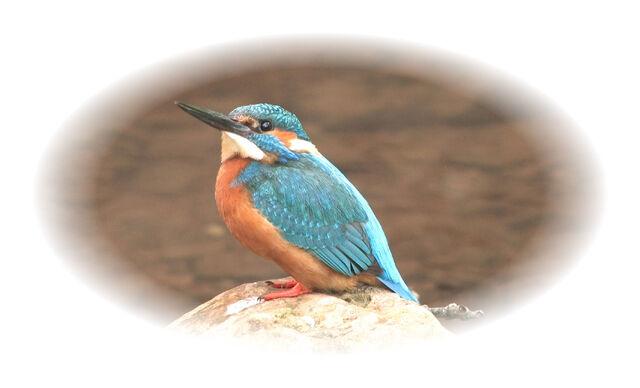 File:Kingfisher 2.jpg