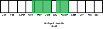 Scalloped Hook-tip (South) TL