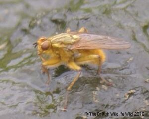 Dung fly