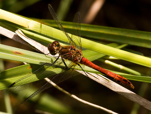 File:Male Ruddy Darter.jpg