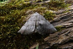 Odontognophos dumetata hibernica - Irish Annulet