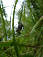Young Wasp Spider