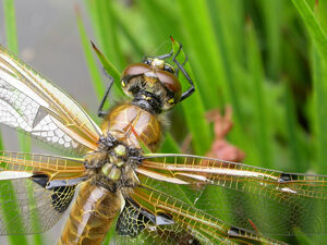 Four-spotted chaser (head)