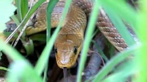Aesculapian snake (Zamenis longissimus) in Wales