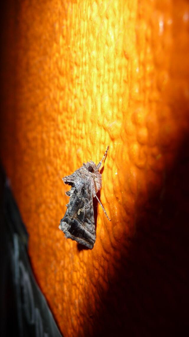 File:Silver Y moth.jpg