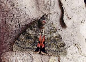 French Red Underwing ~ Ian Kimber