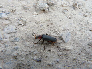 Soldier beetle ~ Cantharis rustica