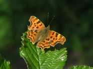 COMMA Butterfly Grabbed Frame 18