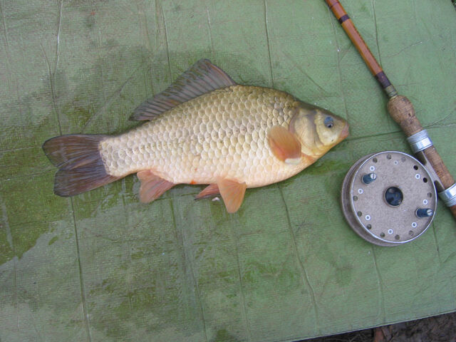File:Brown Goldfish.jpg