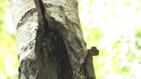 The Treecreeper