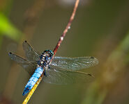 Male black tailed skimmer