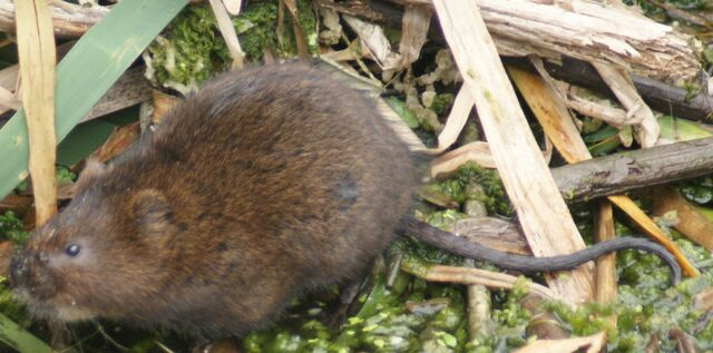 File:Water Vole.jpg