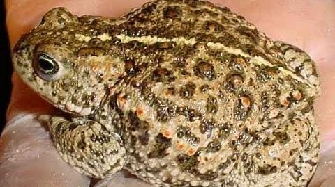 Hunt for the Natterjack Toad!
