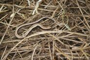 Juv. Slow worm