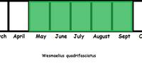 Wesmaelius quadrifasciatus