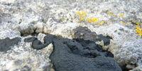 Black Tar Lichen