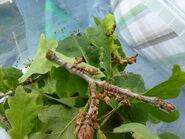 Stauropus fagi - Lobster Moth (larva)