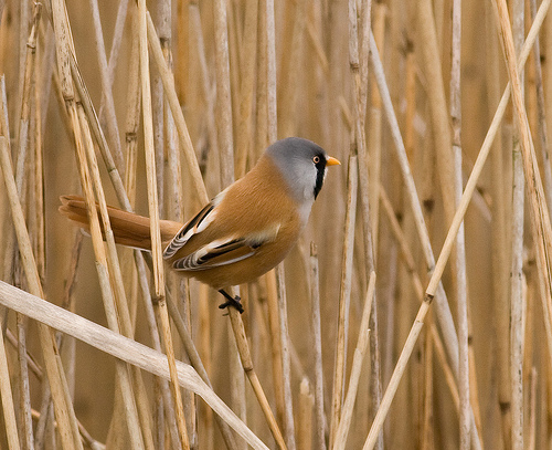 File:Bearded tit.jpg
