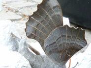 Underside of Poplar Hawk wing