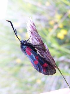 Zygaena filipendulae stephensi ~ Six-spot Burnet