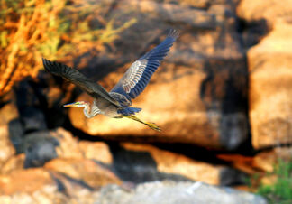 Birds of the nile 024