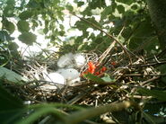 Wood Pigeon Nest