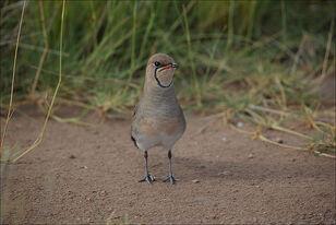 800px-Glareola pratincola in Ambosélie National Park kenya
